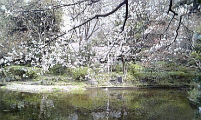清水谷の桜