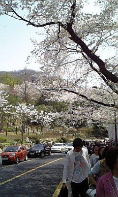 ソウル市内の桜