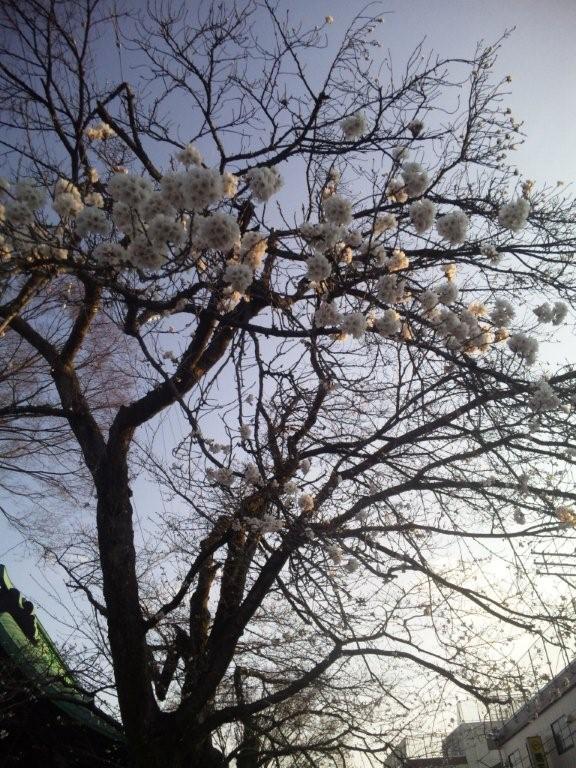十日町市内の桜