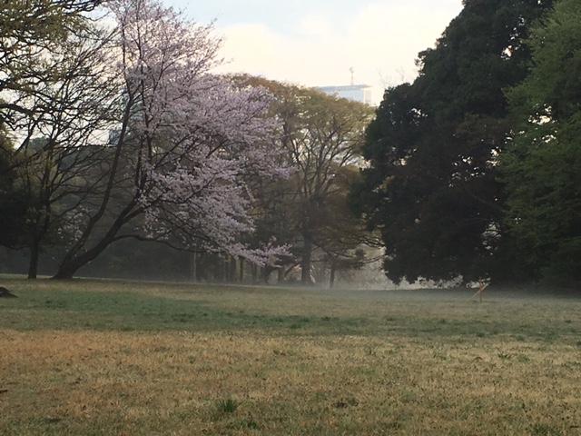 明治神宮の桜