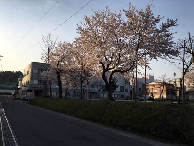十日町市の桜