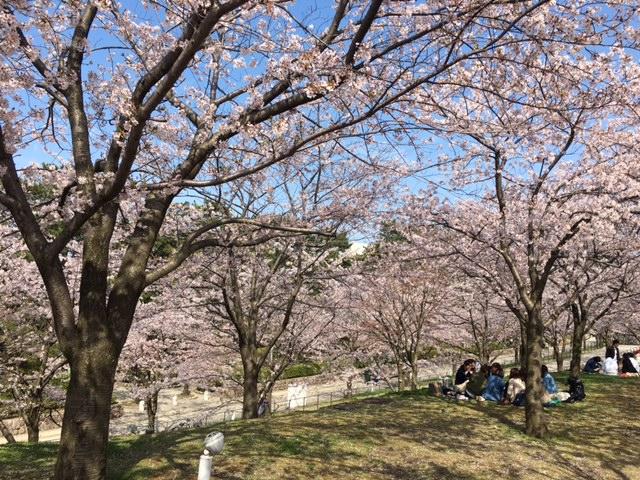 新潟市の桜