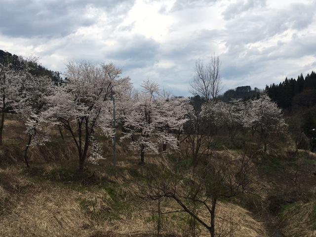 旧高柳町の桜