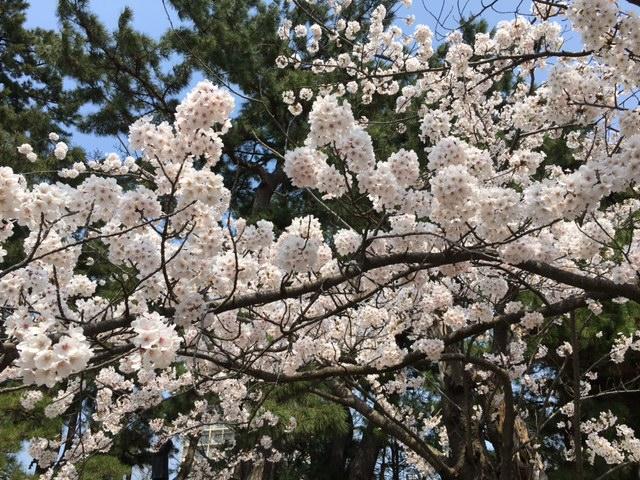桜満開@白山公園