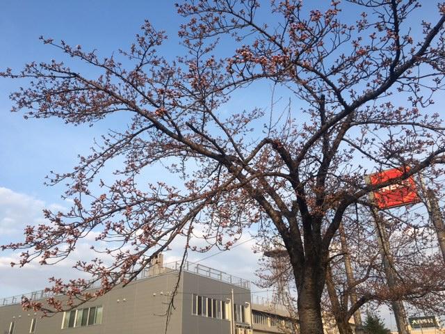 十日町の桜