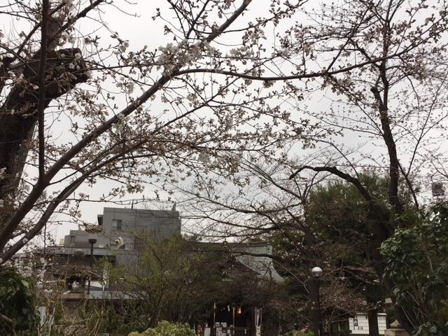 鳩森八幡神社の桜