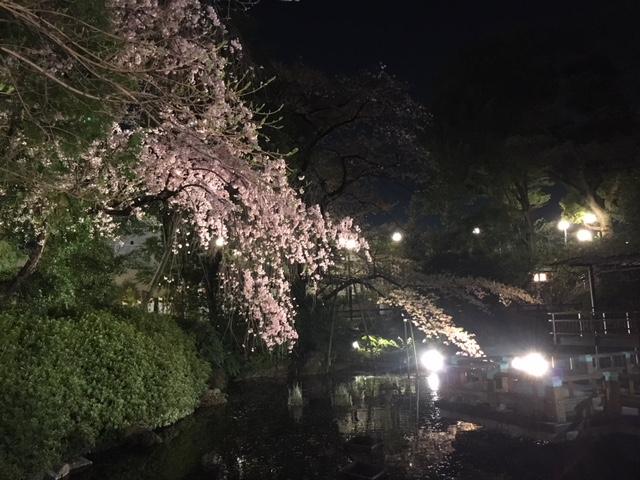 東郷神社の夜桜