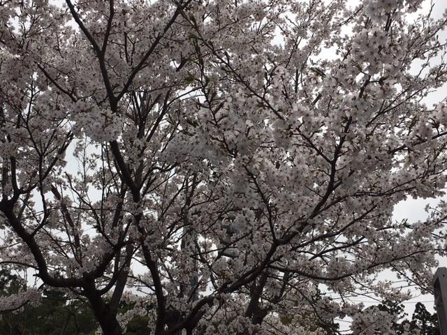 瓢湖の桜①