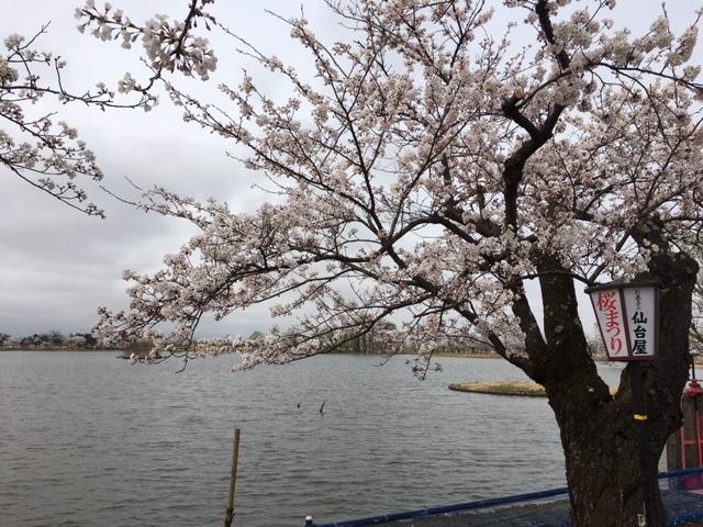 瓢湖の桜②