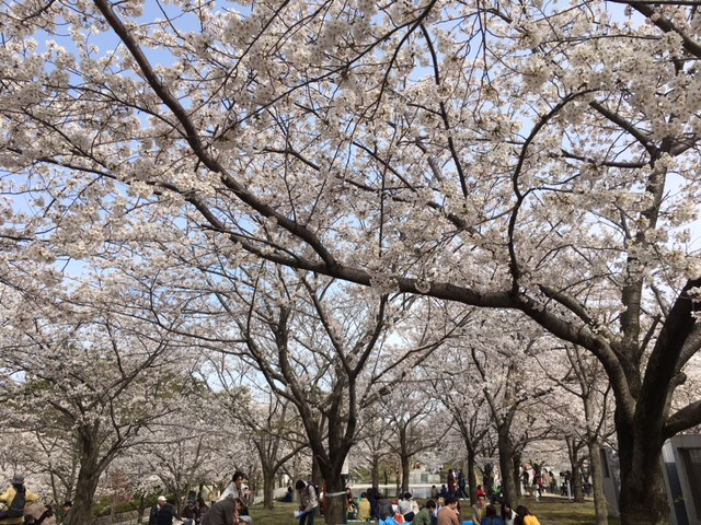 白山公園の桜。